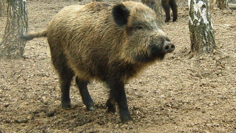 Любители свинины надолго останутся без мяса