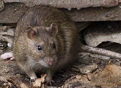 В Харькове во время прогулки на ребенка напала крыса