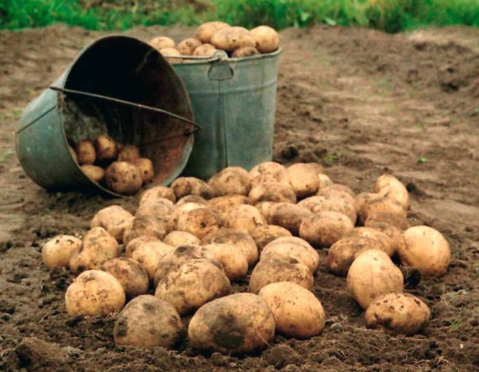 Харьковчан пугают золотым картофелем