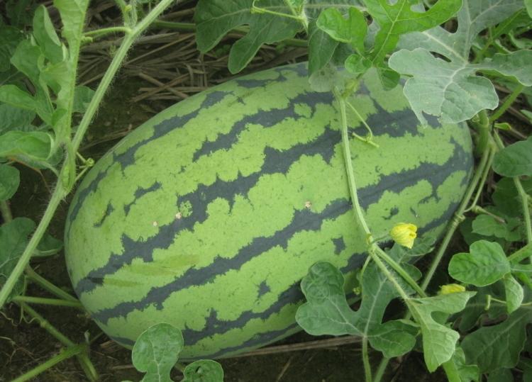 Харьковчанки мечтают о гигантской ягоде