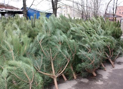 Торговцы елками попали под пристальное внимание полиции (фото)