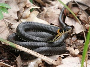 Змея укусила ребенка под Харьковом