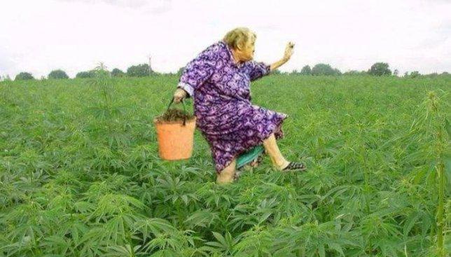 Конопля растет в подсолнухах сжигают марихуану
