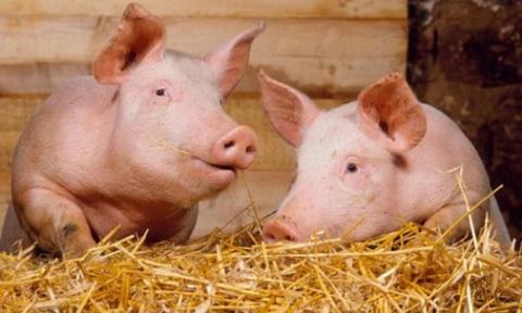 Харьковчане подложат друзьям свинью