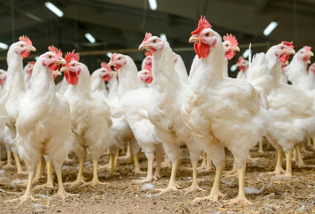 Стоимость курятины продолжит расти - эксперт