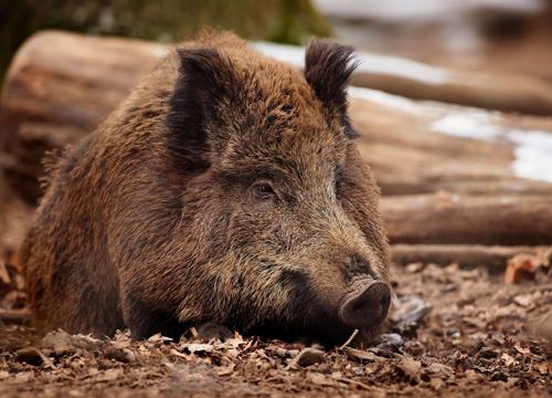 Охотники нашли на Харьковщине животных, зараженных опасным вирусом
