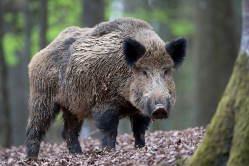 Дикие животные разносят страшное заболевание по Харьковщине