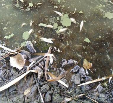 Вода воняет гнилью. На Харьковщине - массовый мор рыбы (фото)