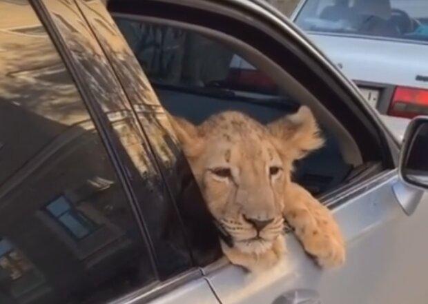 Необычный пассажир. Харьковчанин не побоялся посадить в салон авто опасного зверя (фото)