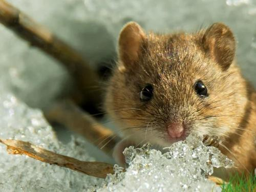 В Харьковской области активизировались мыши