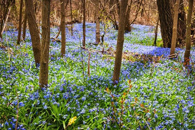 Влюбленный поляк бросил к ногам харьковчанки ковер из голубых первоцветов (фото)