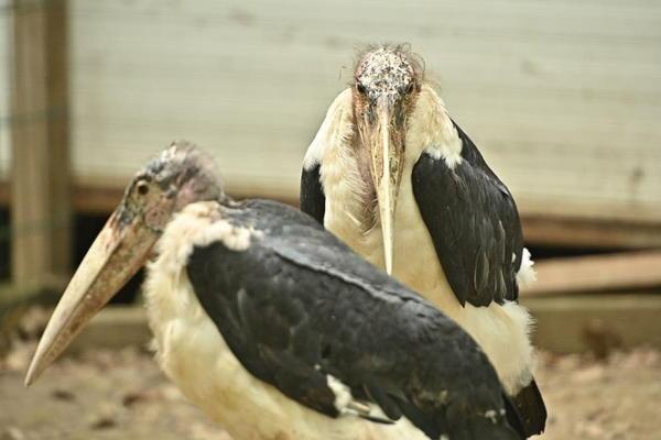 Под Харьковом поселились «голые» птицы