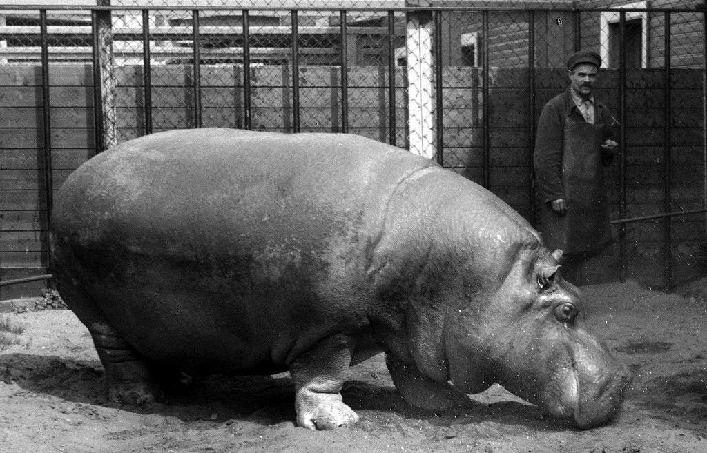 Харьков в XXI веке. 22 июня - в зоопарке умерла бегемотиха, которая родила 15 детей