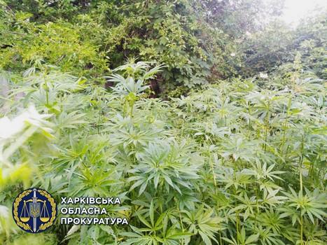Плантацию конопли обнаружили на Харьковщине
